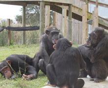 Judge Rules Chimps Can't Be Legal Persons, Activists Vow to Fight On